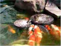 Mała kaczka karmi ryby w ZOO