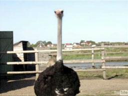 Co to jest emu?