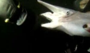 Rekin goblin z Japonii
