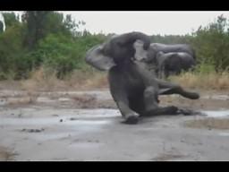 Zwierzęce poślizgi i upadki