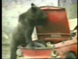 Banda niedźwiedzi