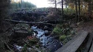 Zawalenie się tamy - bobry przedobrzyły
