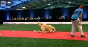 Golden retriever, który pozamiatał na konkursie psów