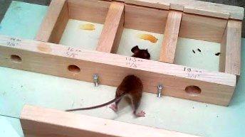 Przez jak małą dziurkę przejdzie mysz?