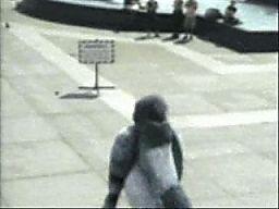 Atak wielkiego gołębia