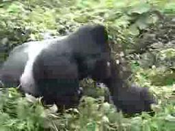 Nie jest dobrze być czarnym w dżungli