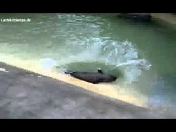 Leniwa foczka