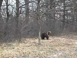 Nieźwiedzica przydrożna