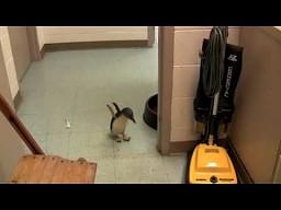 Łaskotanie małego pingwina