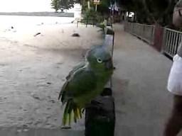 Papużka śmieszka