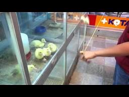 Zakręcone kaczuszki
