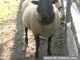 Owca mistrzem ciętej riposty
