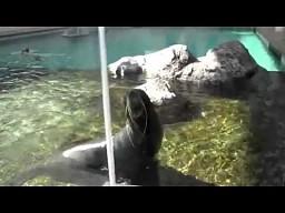 Krzyk foki