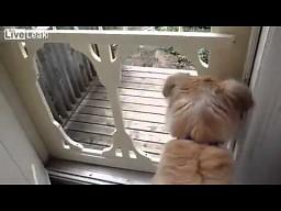 Pies-blondynka