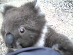 Przytul zdołowanego koalę