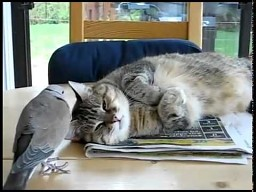 Żyją jak kot z gołębiem