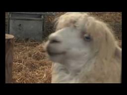 Dramatyczna alpaka (i nieuczesana)