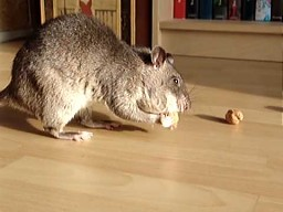 Szczur gambijski