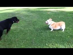 Rottweiler vs Corgi