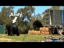 Nowe goryle w ZOO