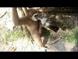 Co się stanie, gdy dasz małpie coca-colę?