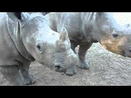 Jakie dźwięki wydają małe nosorożce?