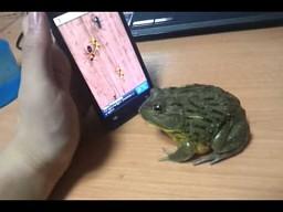 Żaba też gra na smartfonie