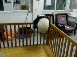 Uciekająca panda młoda 2