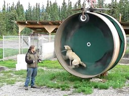 Pies w kołowrotku
