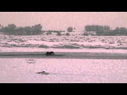 Atak bielika na wydry