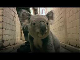Rączo galopująca koala