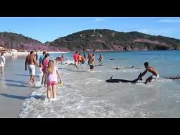 Ratowanie 30 delfinów na plaży w Brazylii