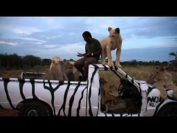 Zabawa z lwami na zebrowym samochodzie