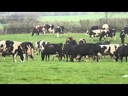 Krowy też lubią wiosnę