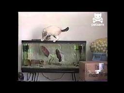 Kot kontra rybki w akwarium