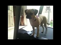 Pies na domowej bieżni