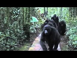 Grupa fotografów spotyka rodzinę goryli