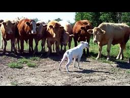 Biały pies kontra stado krów