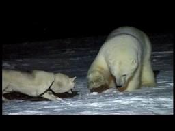 Pies kontra niedźwiedź polarny