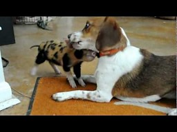 Beagle kontra dzika dziczka