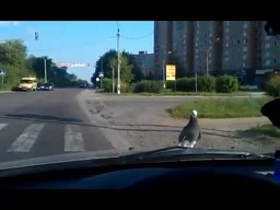 Gołąb podróżnik