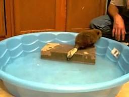 Nie chcielibyście opiekować się w domu małym bobrem?
