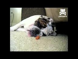 Jak obudzić chrapiącego psa