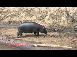Hipopotam kontra motylkowa banda