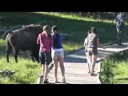 Nie igraj z bizonem