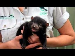 Tasmańskiego diabła szczeniaki