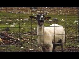 Rozwrzeszczana owca