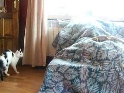 Kot strącony z piedestału przez agamę