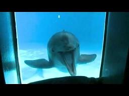 Czy delfiny kiedyś staną się równie inteligentne jak ludzie?