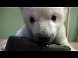 Miś polarny uczy sie chodzić